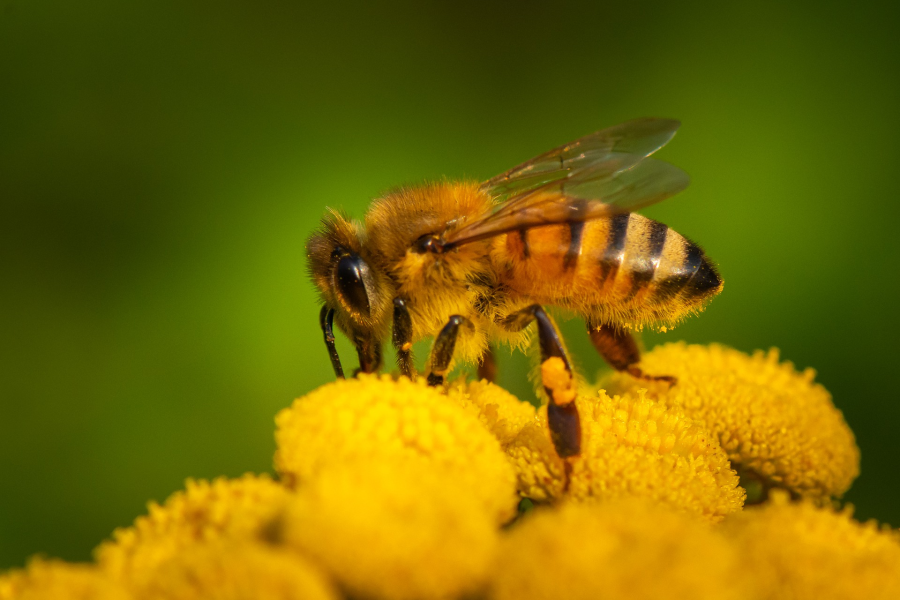 Cover: Bienen   In Deutschland summt es